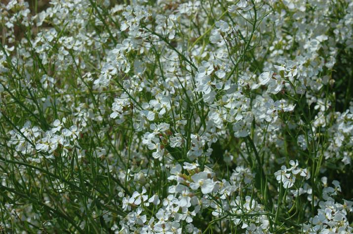 090419佐陀川の白い花.jpg