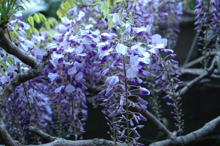 090422 ブドウのような藤の花.jpg