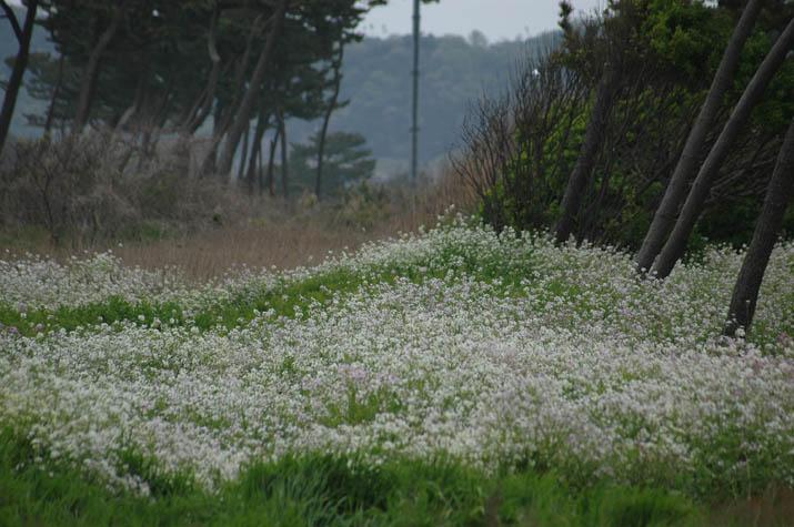 090425ハマダイコンの白い花.jpg