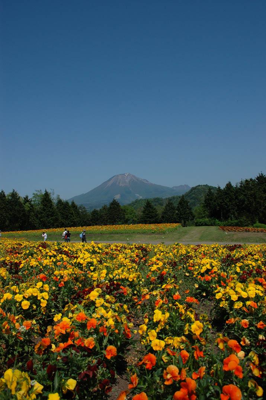 090426 ひなげし畑と大山.jpg