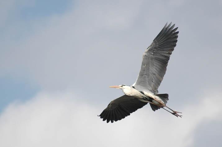 090427 青鷺の飛翔.jpg