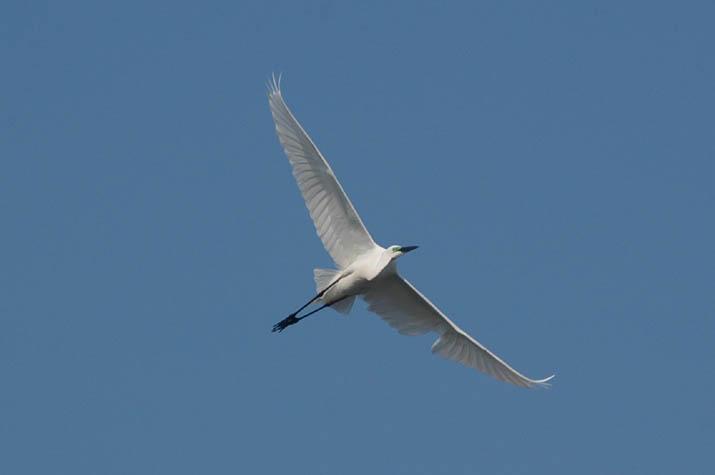 090428 白鷺の飛翔.jpg