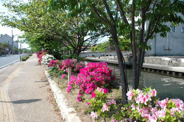 090501 旧加茂川沿いのツツジと並木.jpg