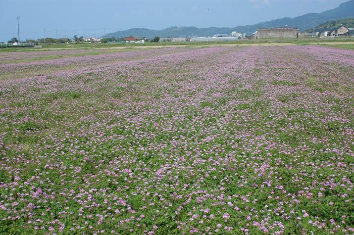 090502 淀江のレンゲ畑.jpg
