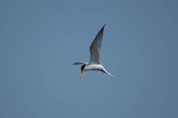 090511 不明な海鳥.jpg