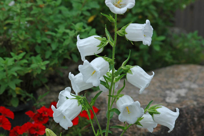 090530白くて鈴のような花.jpg