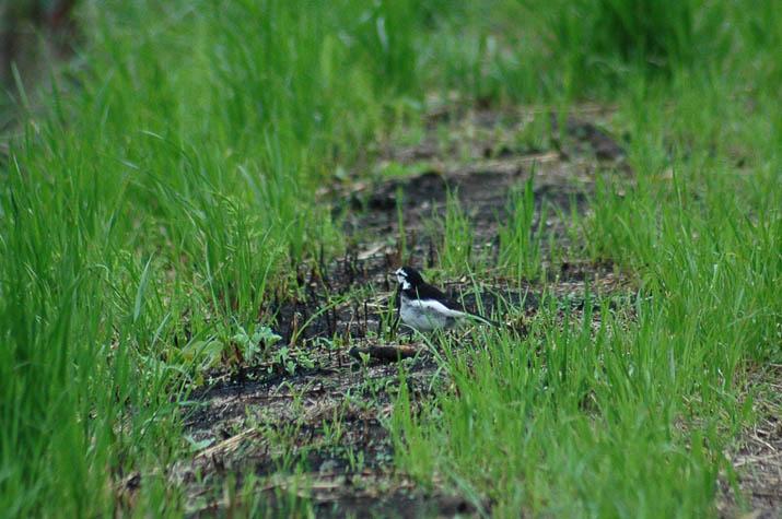 090530 知らない野鳥.jpg