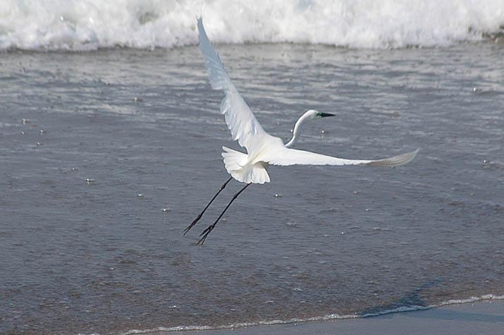090606飛ぶ白鷺を上から見ると.jpg