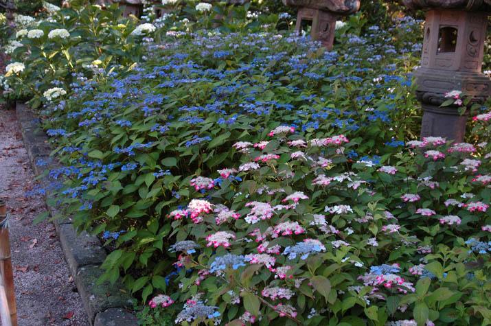 090611 大神山神社の紫陽花.jpg