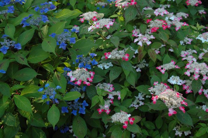 090611可愛い紫陽花.jpg