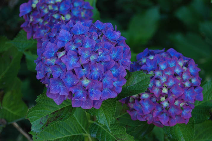 090612大神山神社に咲く紫陽花.jpg