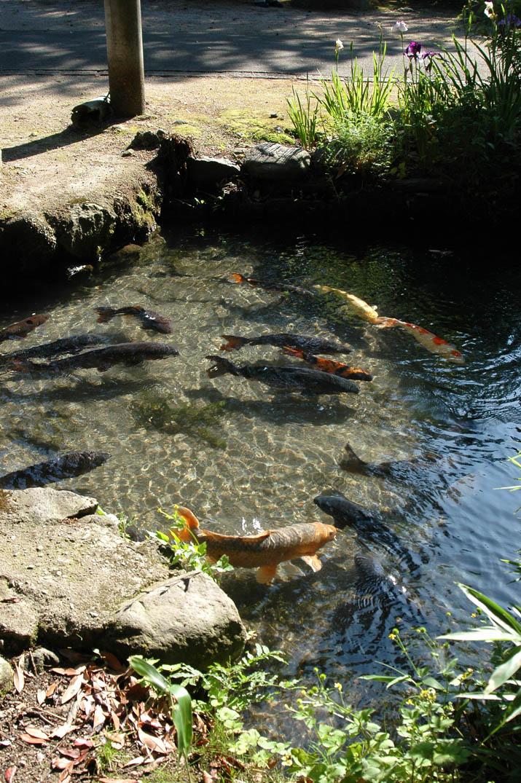 090617 大神山神社の鯉.jpg