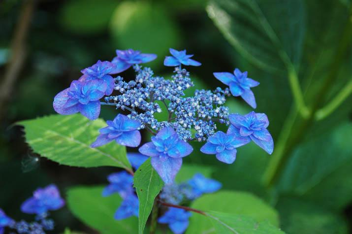 090621 青い花火の紫陽花.jpg