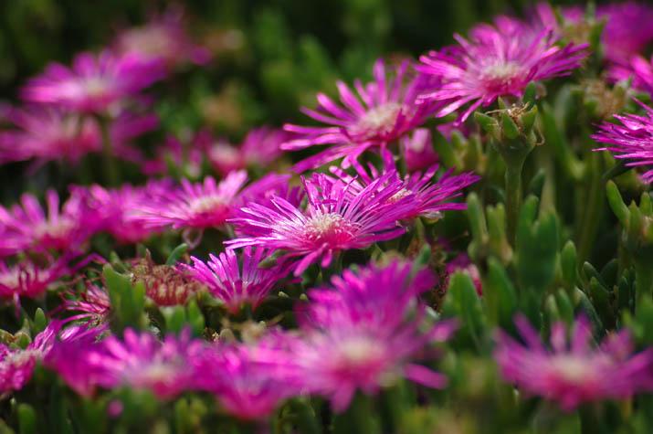 090629 知らないピンクの花.jpg