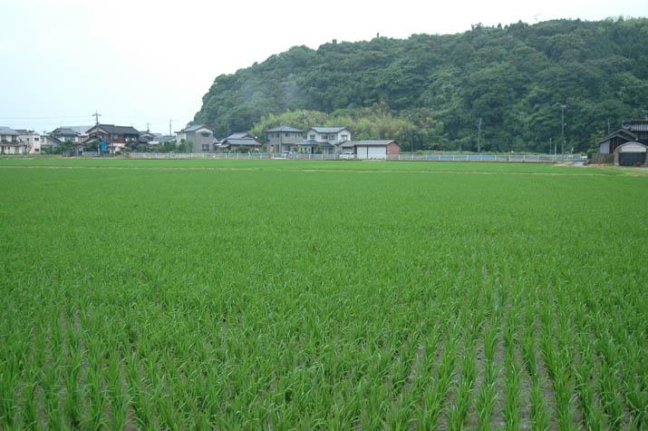 090630 稲も伸び盛り.jpg