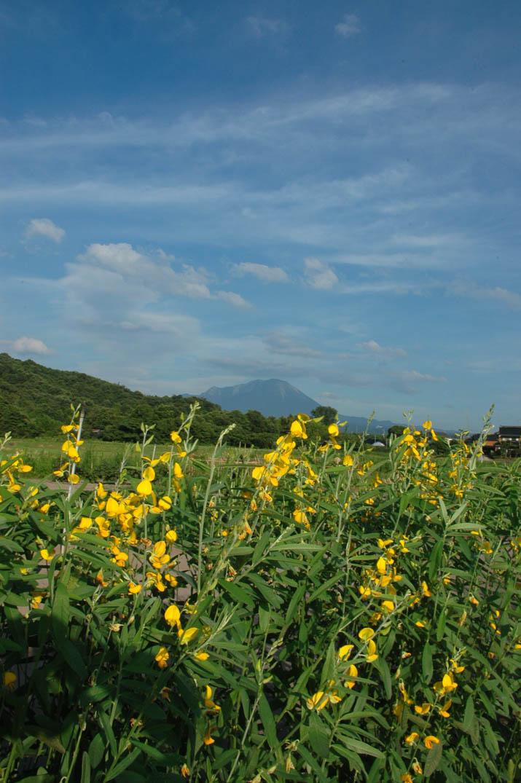 090714 黄色い花と大山.jpg
