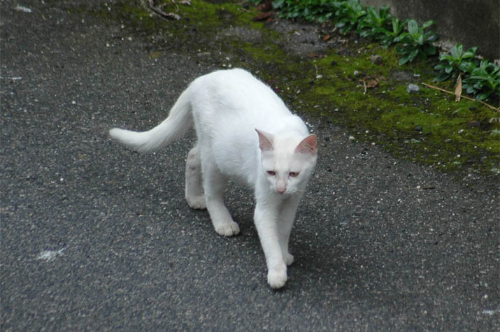 090730 淀江の白い猫.jpg