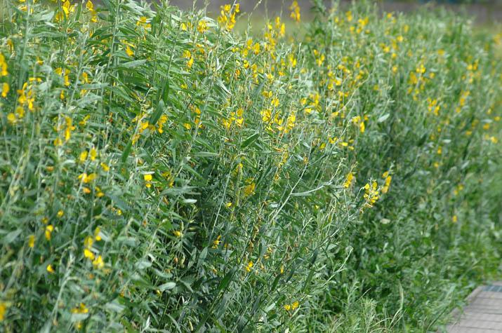 090808 菜の花のような黄色い花.jpg