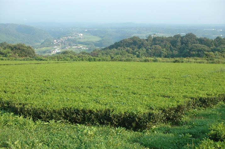 090817 茶畑と淀江.jpg