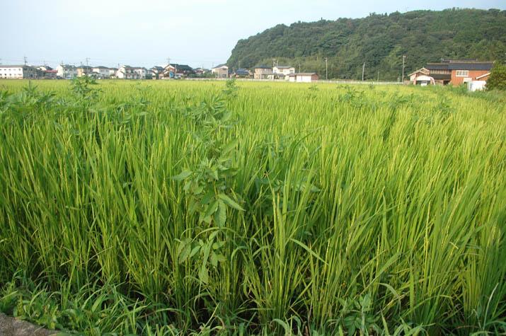 090819 稲もスクスク雑草のびのび.jpg