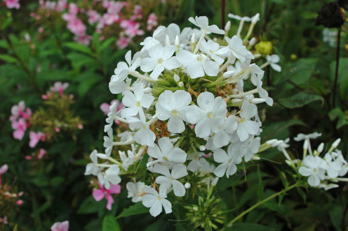 090820 散りはじめた白い花.jpg