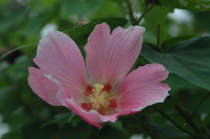 090830 大和公民館に咲いていたピンク色の花.jpg