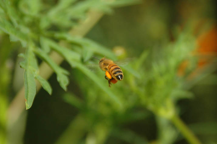 090911花粉を運ぶミツバチ.jpg