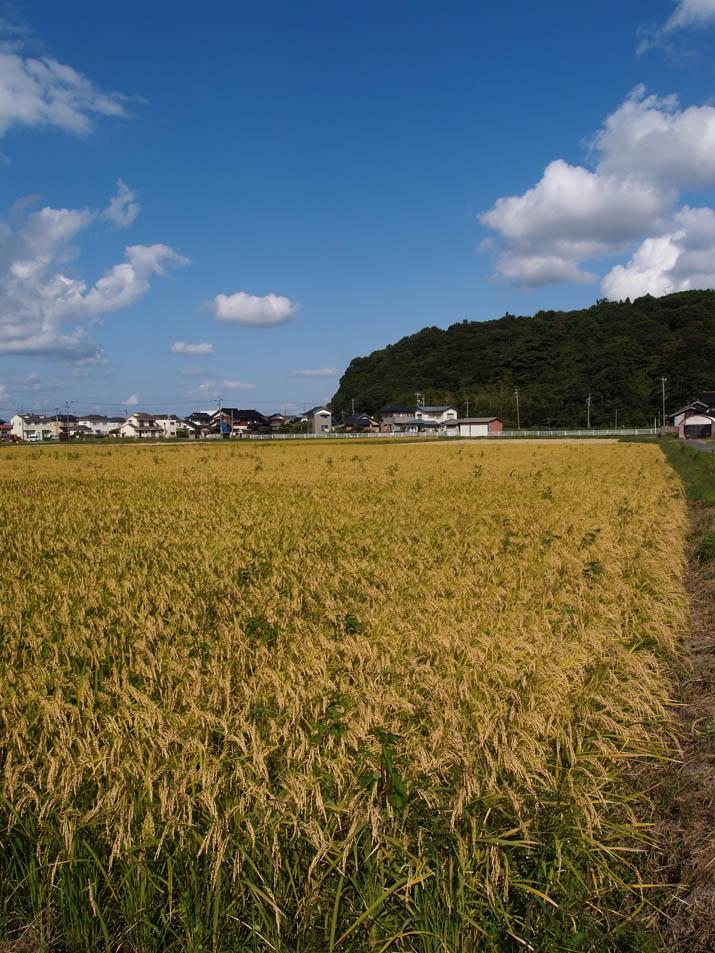 090919 お米も収穫の時期.jpg