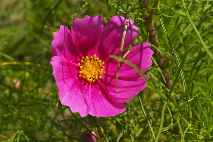 090925 ピンクのコスモス.jpg