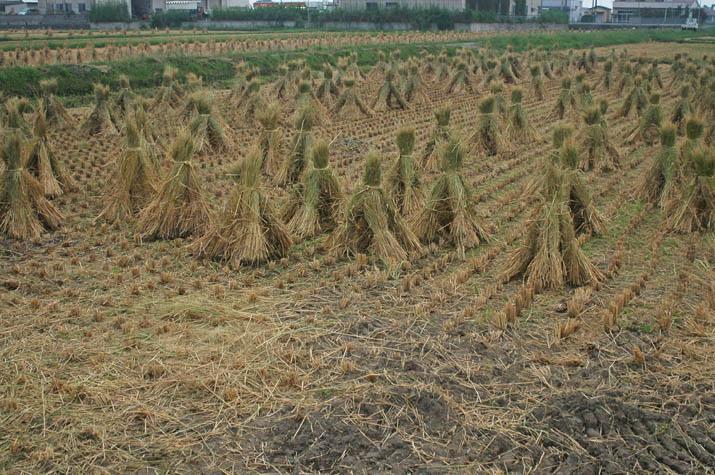 090928 稲刈りを終えたあと.jpg