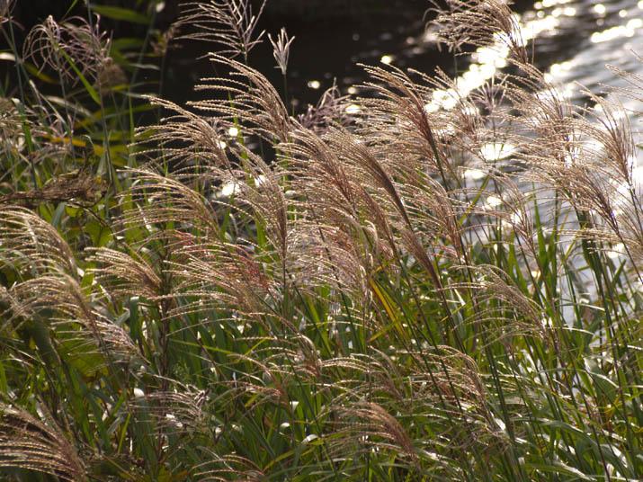 090929 ススキが揺れる秋の川.jpg