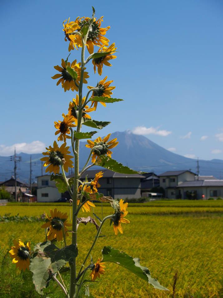 090930 ひまわりと大山.jpg