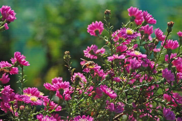 091002 花とミツバチ.jpg