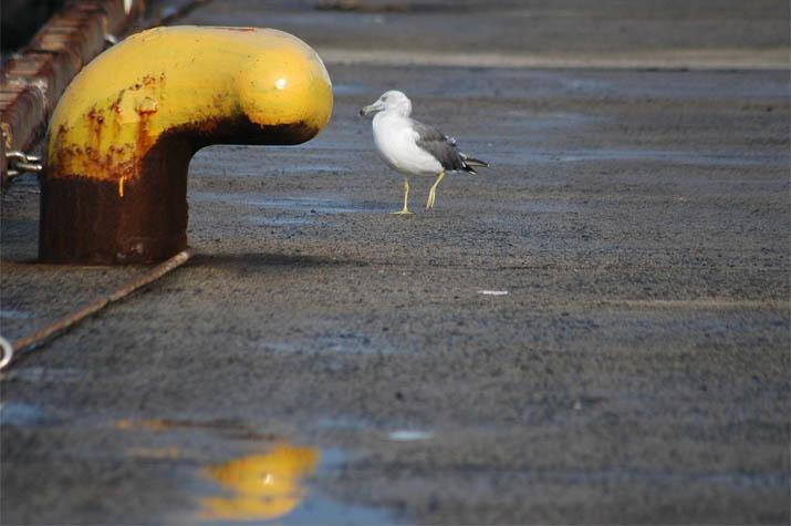 091020 境港のカモメ.jpg