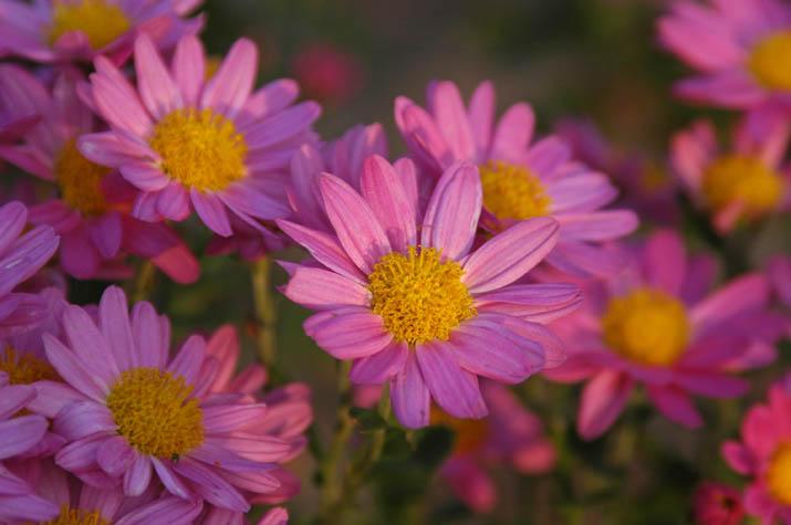091027 小さく咲いた菊の花.jpg