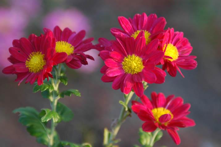 091027 真っ赤に咲いた菊の花.jpg