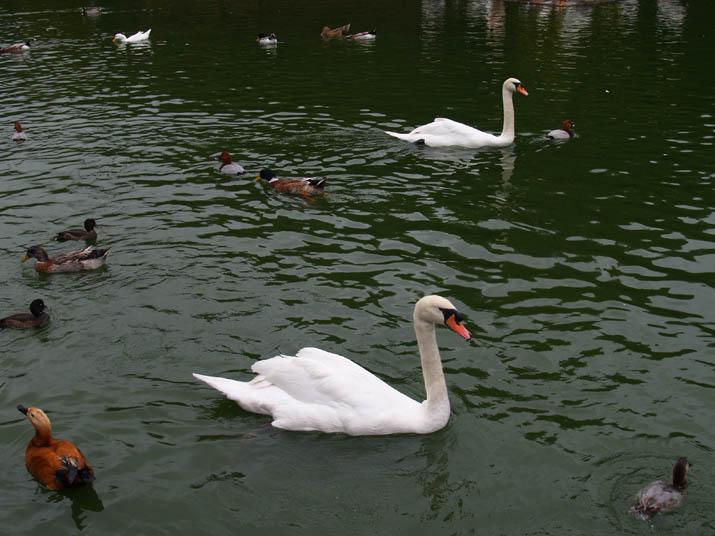 091107 フォーゲルパークの白鳥.jpg