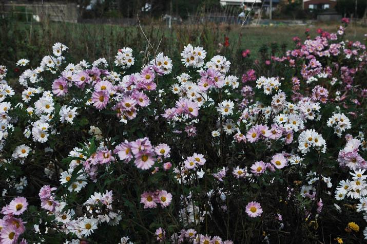 091117 菊の花が満開.jpg