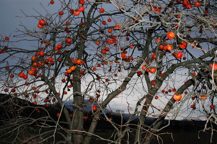 091203 柿の木と大山.jpg