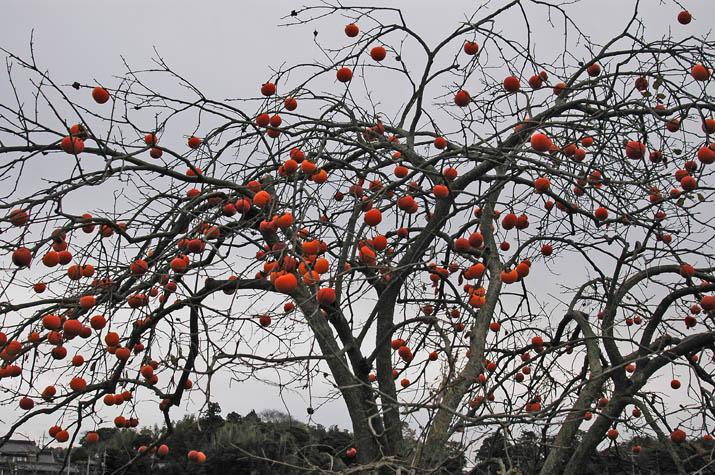 091203 豊作柿の木.jpg