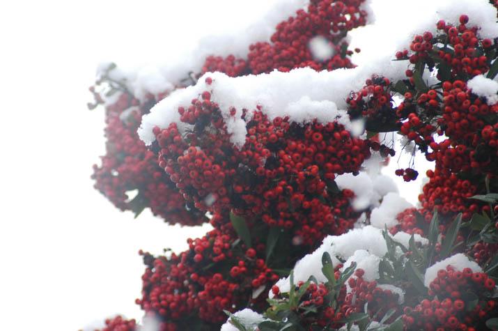 091220 雪が積もるとクリスマス色.jpg