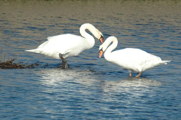 100k_008 二羽の白鳥