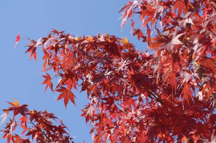 100k_012 湊山公園の紅葉と青空のコントラスト