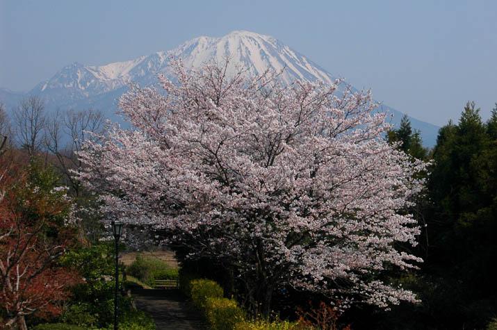 100k_022 満開の桜と大山