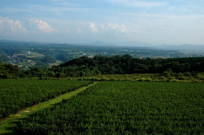 100k_031 壺瓶山の茶畑と大山の裾野