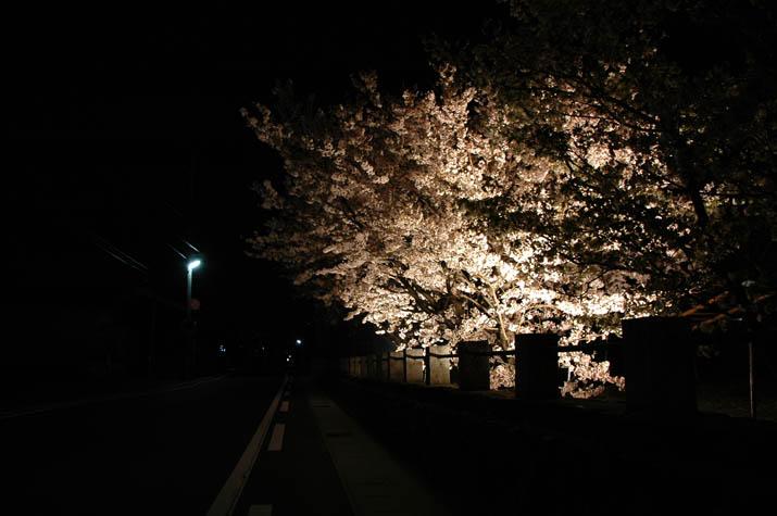 100k_036 日吉神社の夜桜