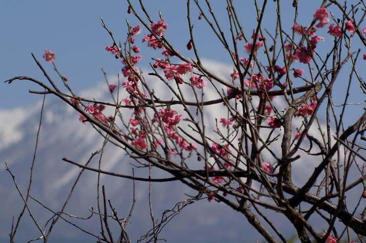 100k_037 米子ハイツの梅の花
