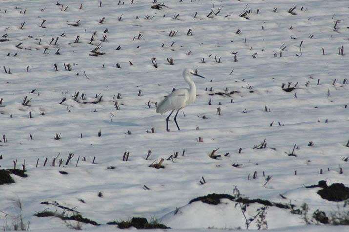 100103 雪原の白鷺jpg