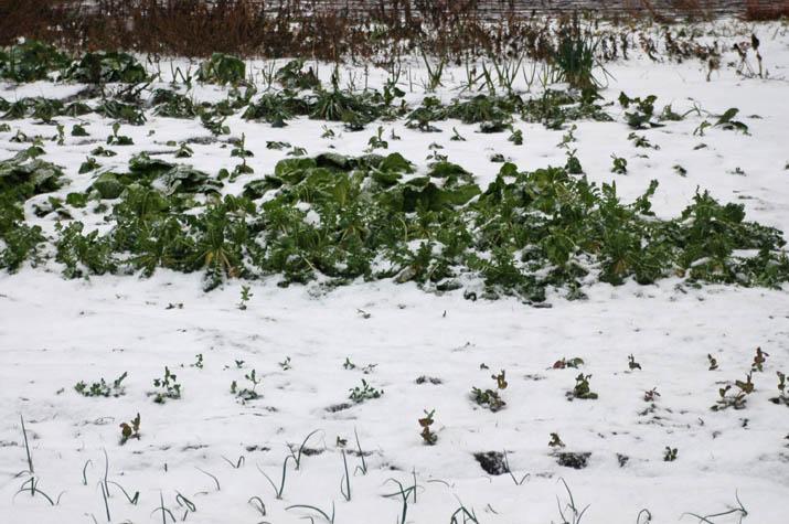 100113 ダイコンと豆も雪の中.jpg