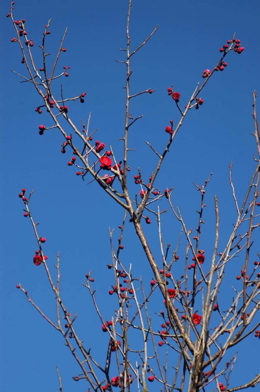 100207 旧米子ハイツの梅の花dia2.jpg